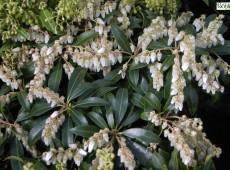Pieris japonica 'Purity' - Lavendelheide / Schattenglöckchen -