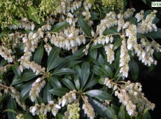 Pieris japonica 'Purity' - Lavendelheide / Schattenglöckchen - (Heidekrautgewächse)