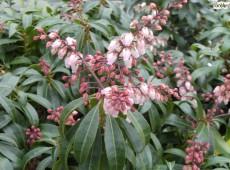 Pieris japonica 'Valley Rose' - Lavendelheide / Schattenglöckchen -