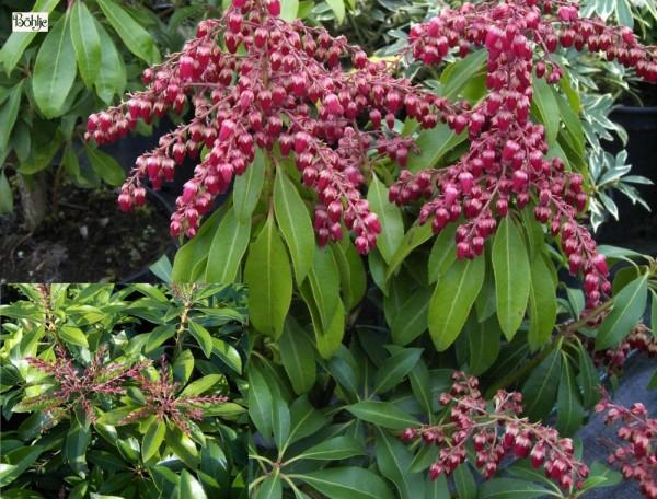 Pieris japonica 'Valley Valentine' - Lavendelheide / Schattenglöckchen -