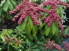 Pieris japonica 'Valley Valentine' - Lavendelheide / Schattenglöckchen - (Heidekrautgewächse)