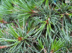 Pinus aristata 'Blue Cover' -Grannen Kiefer-