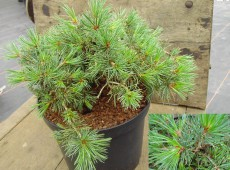 Pinus aristata 'Green Cover' -Grannen Kiefer-