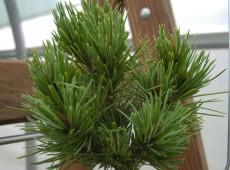Pinus aristata 'Jeddeloh's Zwerg'