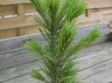 Pinus aristata 'Sherwood Compact' -Grannenkiefer-