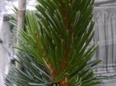 Pinus aristata var. longaeva -Grannen Kiefer-
