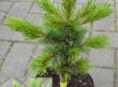 Pinus aristata -Fuchsschwanzkiefer-