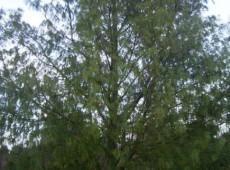 Pinus armandii -chinesische Weißkiefer / Davids-Kiefer-