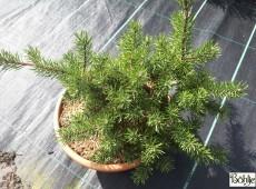 Pinus banksiana 'Tucker's Dwarf' -Bankskiefer-