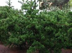 Pinus banksiana -Bankskiefer-