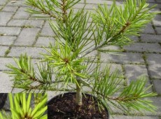 Pinus bungeana -Silberkiefer / Tempelkiefer-
