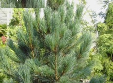 Pinus cembra 'Glauca' -blaue Zirbelkiefer-