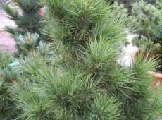 Pinus cembra var. sibirica -Zirbel Kiefer-