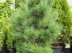 Pinus cembra -Zirbelkiefer-