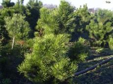 Pinus contorta 'Compacta' -Drehkiefer-