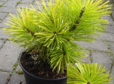 Pinus contorta 'Frisian Gold' -Drehkiefer-
