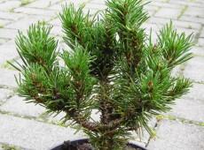Pinus contorta 'Spaan's Dwarf' -zierliche Drehkiefer-