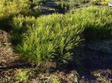 Pinus densiflora 'Alice Verkade' ('Tanjosha Compacta') -japanische Rotkiefer-
