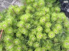Pinus densiflora 'Jane Kluis' -japanische Strauchkiefer-