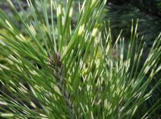 Pinus densiflora 'Oculus-draconis' -japanische Strauchkiefer-