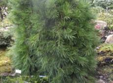 Pinus densiflora 'Pendula' -Hängestrauchkiefer-