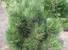Pinus heldreichii 'Malinki' -bosnische Zwergkiefer-