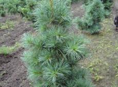 Pinus koraiensis 'Glauca' -blaue Koreakiefer-