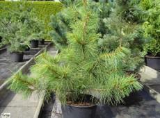 Pinus koraiensis -Koreakiefer-
