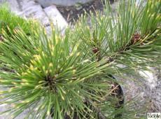 Pinus heldreichii 'Aureospicata' -gelbe Schlangenhautkiefer-