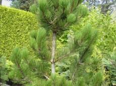 Pinus heldreichii 'Satellit' -Selektion aus der Schlangenhautkiefer-