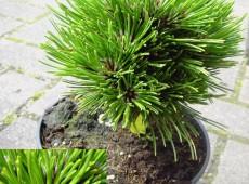 Pinus heldreichii 'Smidtii' -Schlangenhautkiefer-