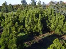 Pinus heldreichii var. leucodermis -Schlangenhautkiefer-