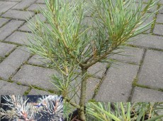 Pinus monophylla -kalifornische Kiefer-