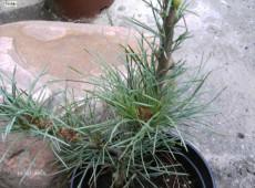 Pinus monticola 'Undulata' -Kiefer-