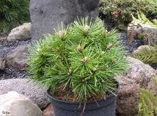 Pinus mugo 'Benjamin' -Zwergform der Bergkiefer-