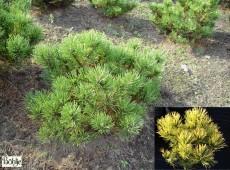 Pinus mugo 'Carsten's Wintergold' -Bergkiefer-