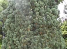 Pinus mugo 'Columbo'  ('Columnaris') -Bergkiefer-