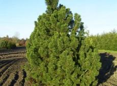 Pinus mugo 'Gnom' -Bergkiefer-