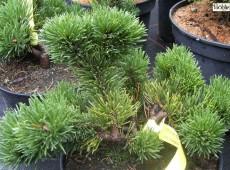 Pinus mugo 'Jacobsen'