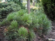 Pinus mugo 'Krauskopf' -Bergkiefer-
