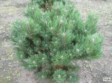 Pinus mugo 'Laurin' -Bergkiefer-