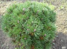 Pinus mugo 'Mini Mops' -Bergkiefer-