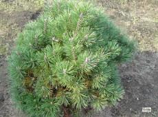 Pinus mugo 'Mops' -Bergkiefer-