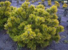 Pinus mugo 'Ophir' -Bergkiefer-