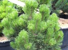 Pinus mugo 'Picobello'