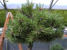 Pinus mugo 'Pleszew' -Bergkiefer-               Böhlje Auslese