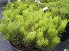 Pinus mugo var. pumilio -Bergkiefer-