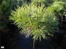 Pinus nigra 'Brepo' -österreichische Schwarzkiefer-
