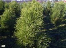 Pinus nigra var. pyramidata