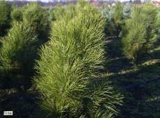 Pinus nigra var. pyramidata ('Pyramidales')